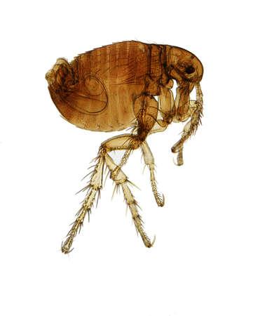 chitin: Flea