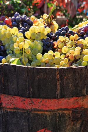Harvesting grapes  Ripe grapes inside a bucket photo
