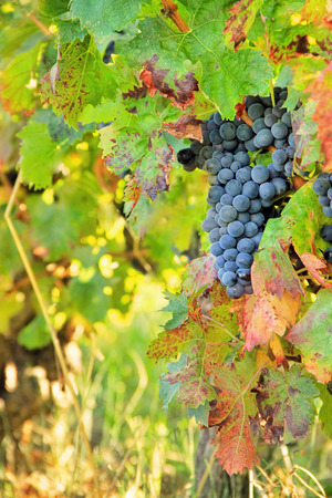 Harvesting grapes  black grapes and colorful leaves� photo