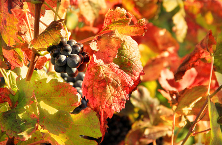Harvesting grapes: black grapes and colorful leaves? photo