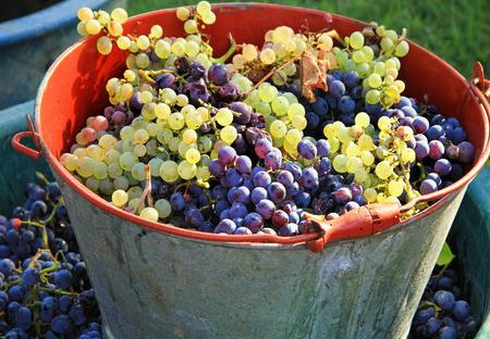 Harvesting grapes: Ripe multi colored grapes inside a pail photo