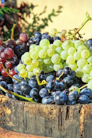 Harvesting grapes: Ripe grapes inside a bucket photo