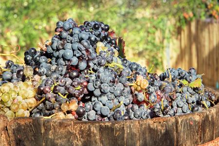 Harvesting grapes: Ripe multi colored grapes inside a bucket photo