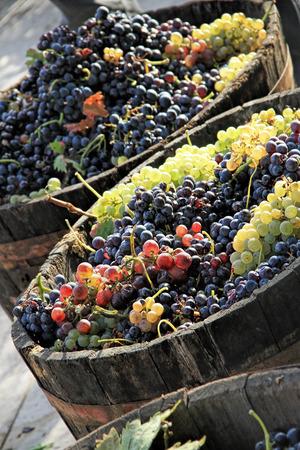 Harvesting grapes: Ripe grapes inside a bucket