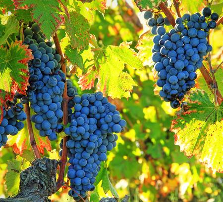 hojas de colores: uvas negras y hojas de colores Foto de archivo