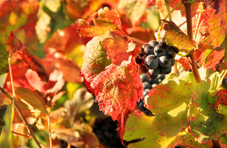 purple red grapes: Harvesting grapes: black grapes and colorful leaves? Stock Photo