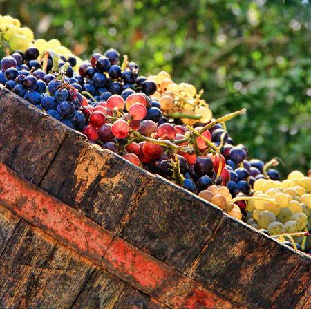 Harvesting grapes: Ripe multi colored grapes inside a bucket