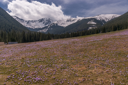 glade: Spring nature. Crocuses on the glade. Tatry