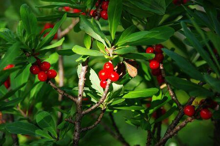 mezereum: Poisonous red fruits of Daphne mezereum