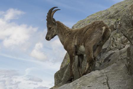 Steinbock auf einem Felsen. Französische Alpen. Standard-Bild - 81307165