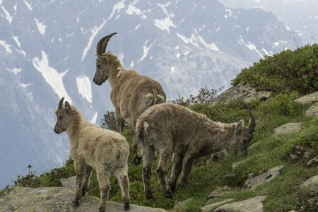 Ibex in the French Alps.