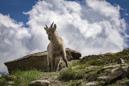Young Ibex in the natural environment. French Alps.