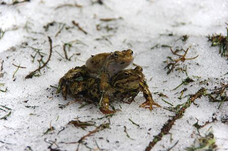 Copulating frogs (Rana temporaria) in Amplexus