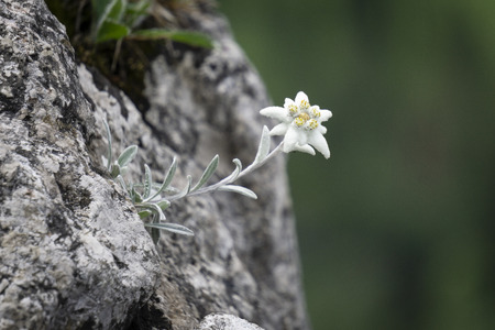 Edelweiss protected rare flower in the Tatra Mountains.