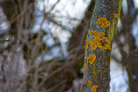 Yellow lichen on a tree
