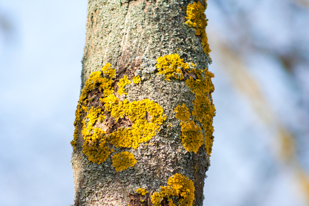 Close up of a tree trunk with yellow lichen growing on its bark