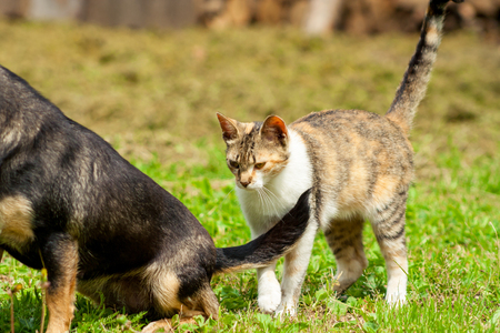 A young cat is standing behind the sitting dark dog next to the tail on grass Stock Photo