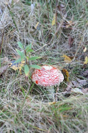 agaric amanita muscaia mushroom detail in forest autumn seasonal poisonous