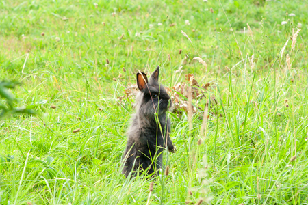 black thoroughbred rabbit in the grass. Rabbit standing on two hind legs.