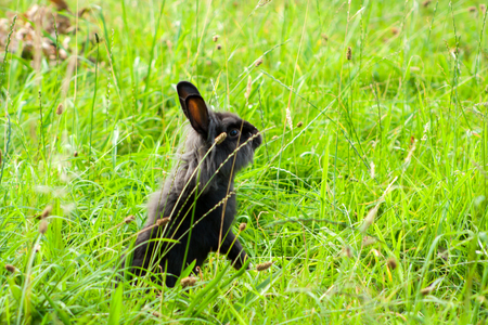 black purebred rabbit in the grass. Rabbit standing on two hind legs.