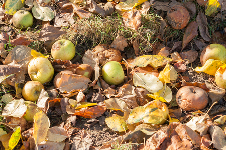 Several windfall apples lying on the ground in grass in autumn