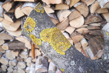 Yellow lichen on a tree on a background of stacked of tree Stok Fotoğraf