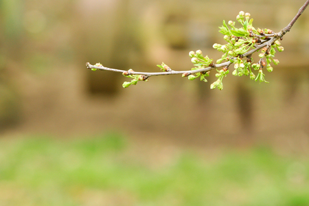 Branch of cherries on a green background. The first days of spring. Flowers appear and begin to flourish. Stock fotó