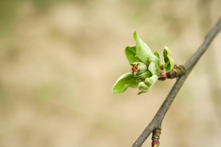 A developing apple blossom. The first signs of spring. Flowers grow and bloom. Stock Photo