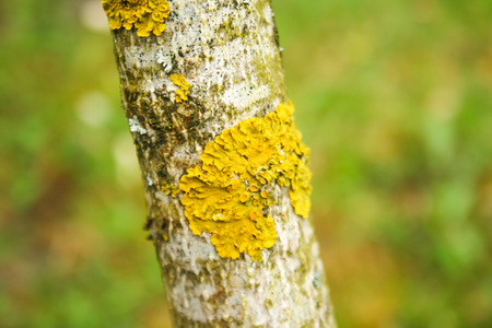 Yellow lichen on a tree on green background