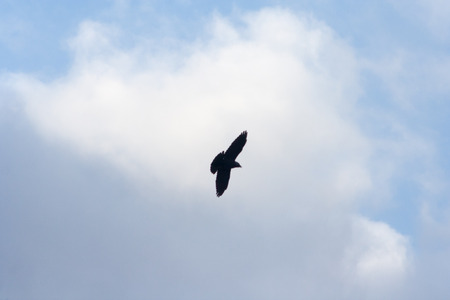 A crow flying in the air on the sky background 免版税图像