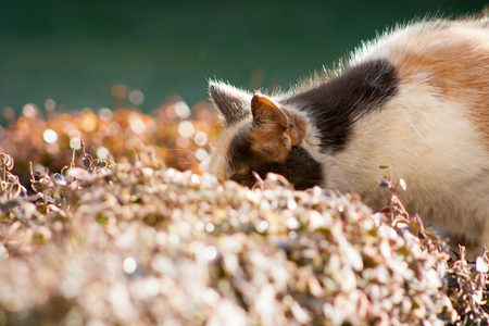 Adult cat smelling plants and flowers. The cat is playing in the flowers in the garden. Stockfoto