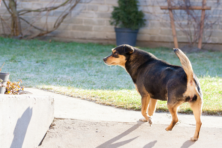 Dog with raised tail. The back of the dog with a visible rump