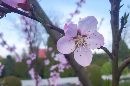 one pink peach blossom in garden