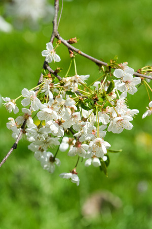 Blooming cherry branch. Beautiful white flowers on a tree