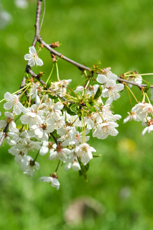 white cherry flowers bloom on spring day Stock Photo