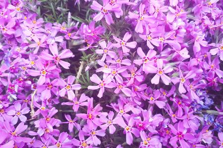 Background of flowers Phlox subulata