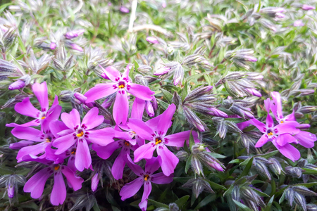 Phlox subulata flowers and green grass background