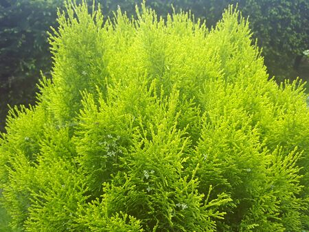 Green young thuja branches in Poland in the garden Stockfoto - 128426719