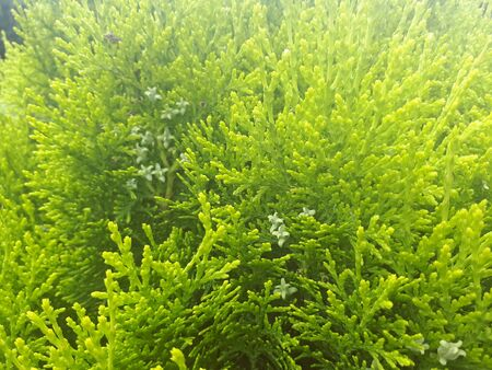 Green young thuja branches in Poland in the garden Stockfoto - 128426718