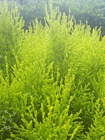 Green young thuja branches in Poland in the garden