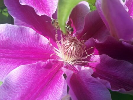 A large clematis bush grows in the garden. Beautiful purple flower of clematis Zdjęcie Seryjne
