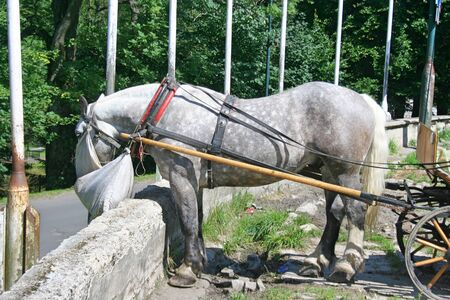 The gray horse in full harness eats hay from a bag attached to the head