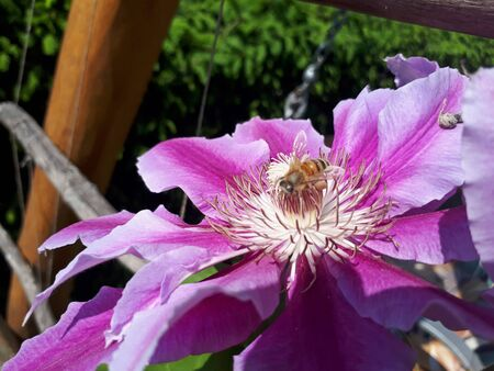 Close-up flower of clematis and a bee walking on it