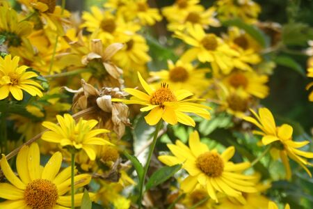 Heliopsis helianthoides. Perennial. Similar to the daisy. Garden. Flowerbed. Floriculture. Yellow cute flowers. Bushes. Horizontal