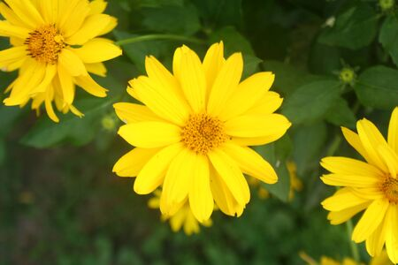 Heliopsis helianthoides. Beautiful yellow flower on blurred background. Heat and drought tolerant Yellow Wild Flower