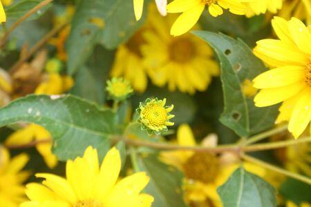 Heliopsis helianthoides False Sunflower beautiful yellow orange garden flower