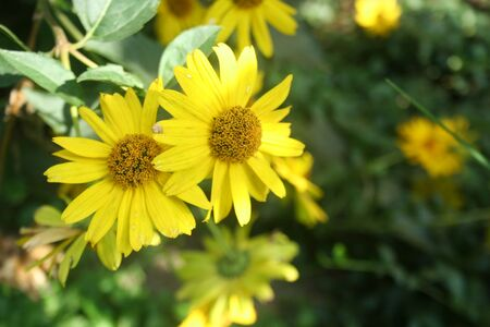 Yellow garden flower - smooth oxeye, false sunflower (Heliopsis helianthoides) close-up Imagens