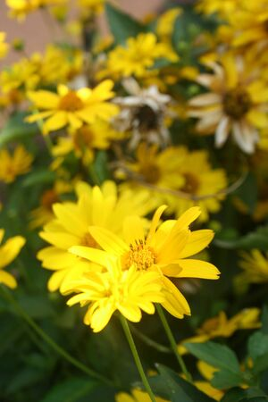 Garden with beautiful flowerbed of yellow Heliopsis