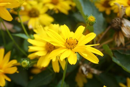 Beautiful yellow False Sunflower (Heliopsis helianthoides) blooming in field Imagens