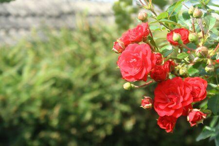Beautiful roses in garden, roses for Valentine Day Zdjęcie Seryjne